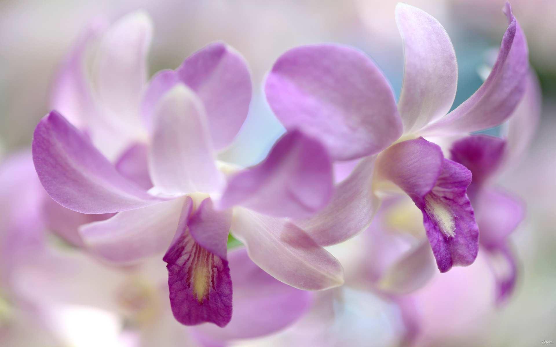 Hình nền máy tính HD bông hoa lan đẹp