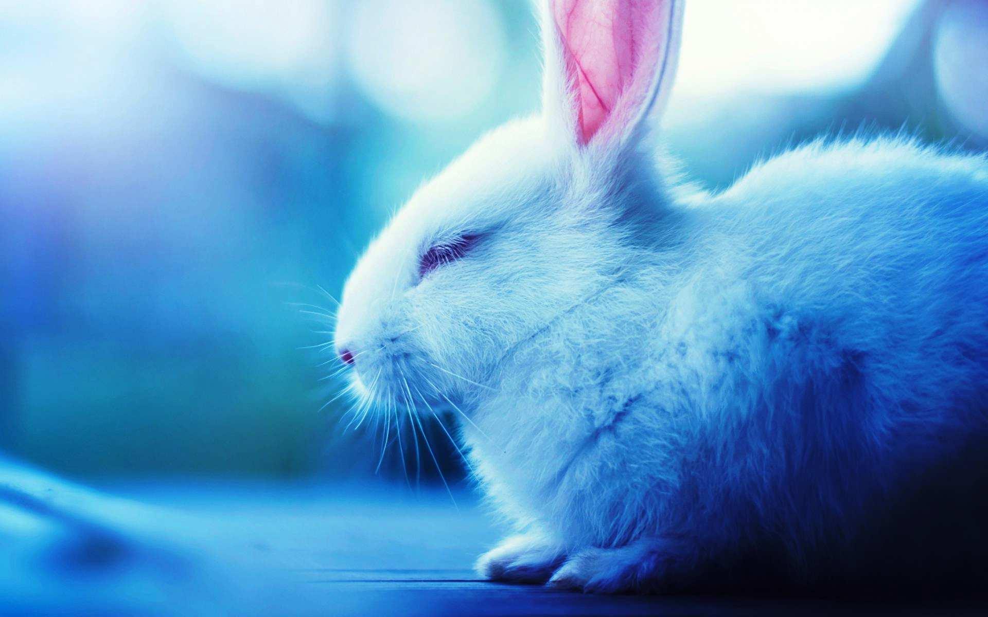 Hình nền máy tính HD chú thỏ trắng đẹp