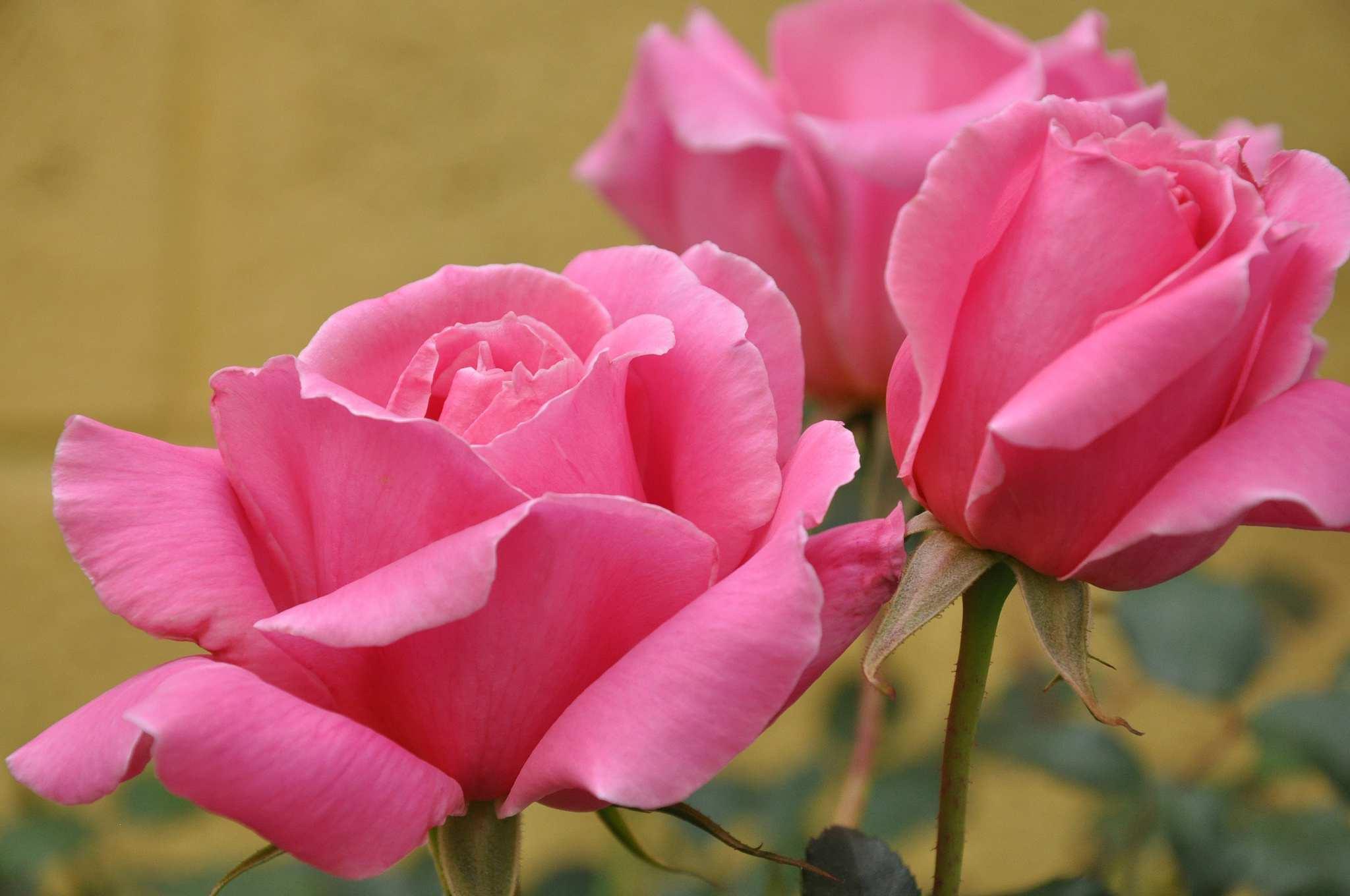 Hình nền máy tính HD những bông hoa hồng khoe sắc thắm